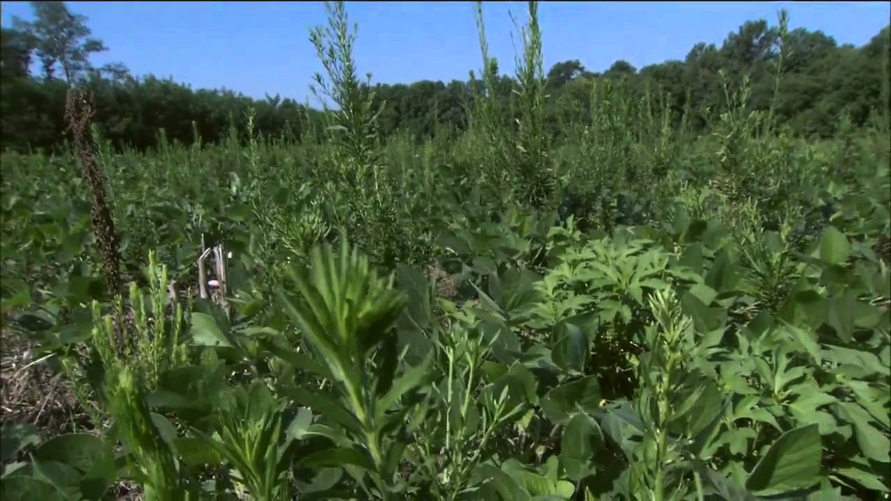 Unique characteristics of horseweed/marestail make it a ...