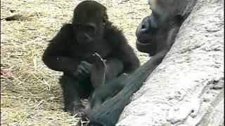 2011年4月7日の上野動物園のゴリラの赤ちゃんコモモ。Cute baby gorilla...