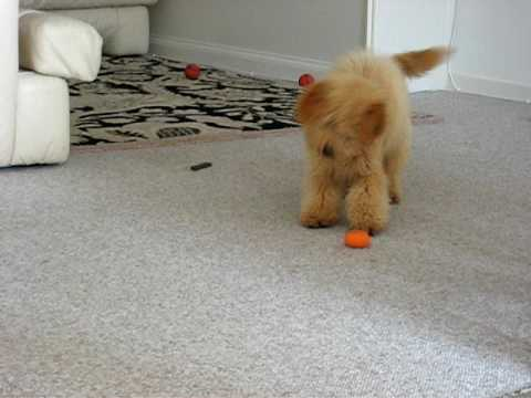 Labradoodle Puppies For Sale in New Mexico - Toy, Miniature