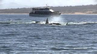 4/23/16 Killer Whales attack Gray Whale Calf in Monterey Bay