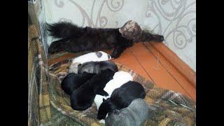 выбор щенка Восточносибирской лайки