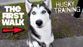 How To Properly Walk A Husky!