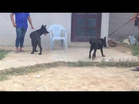 Zed Black German Shepherd Puppies For Sale In Delhi 9999039993 Pure