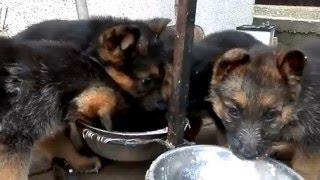 КОРМЛЕНИЕ ЩЕНКОВ немецкой овчарки.Feeding puppies Odessa.