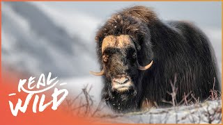 Could This Animal Help Bring Back The Mammoth? (Wildlife Documentary) | Natural Kingdom | Real Wild