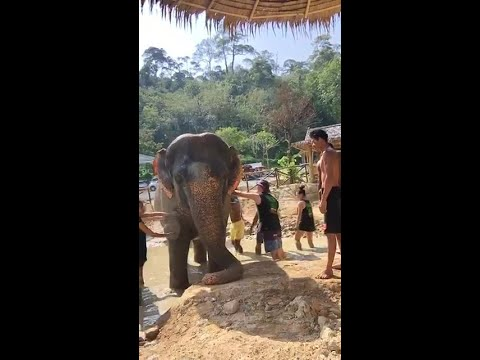Taking a mud bath with the elephants