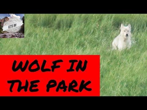 Yellowstone Wolf Runs Towards Crowd