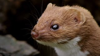 The Most Powerful Bite   Weasels: Feisty & Fearless   BBC Earth