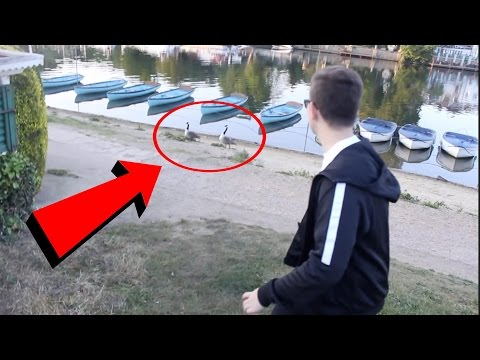 GETTING ATTACKED BY A FAMILY OF GEESE!!!