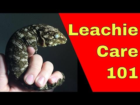 Rhacodactylus Leachianus Care