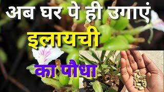 इलायची की खेती कैसे करते है ! elachi ki kheti kaise karte hai