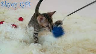 Розетка на золоте девочка продажа, бенгальская кошка