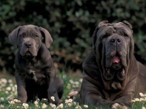 Neapolitan Mastiff / Dog Breed