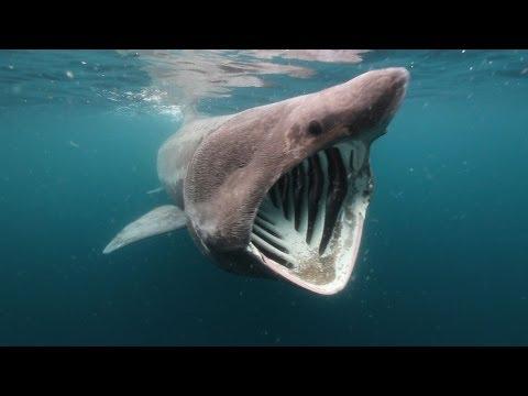 Solstice - Scotland's Basking Sharks