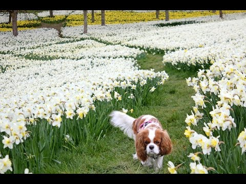 🌼The walk between millions of Daffodils | Cavalier King Charles Spaniel Lilly💗🐶
