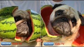 Chó mèo dễ thương hài hước xem đi mà còn lựa nuôi | cats tv - tik tok chó mèo