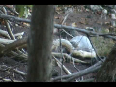 Koki Hawaiian Monk Seal Documentary - The Weaning