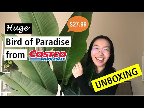 Super Cheap HUGE Bird Of Paradise From Costco | Plant Unboxing