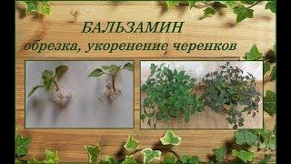 Бальзамин Уоллера - весенняя обрезка, укоренение черенков
