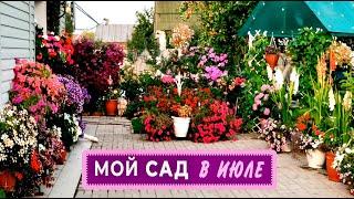 Мой сад в начале июля .Яркие краски роз и петуний
