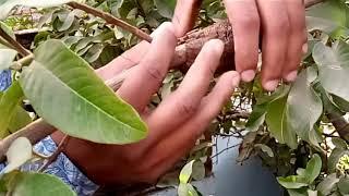 अमरूद में गूटी बांधने का आसान तरीका,Air Layering in guava plant By-Latif Qureshi
