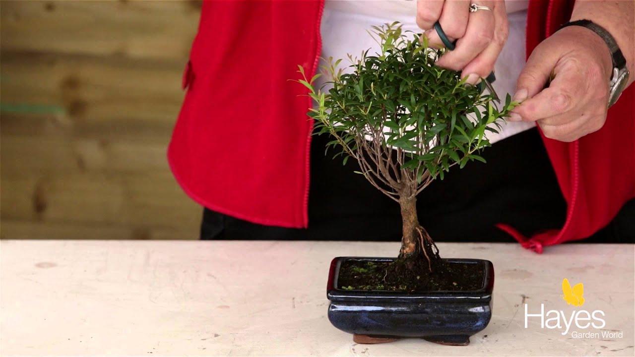 How To Trim Your Bonsai Tree Youtube