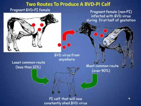 Dr  Robert Stout - Bovine Virus Diarrhea-Persistent Infection Management