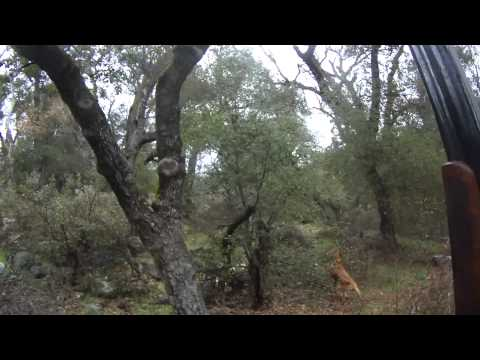 Portuguese Pointer Hunting Wild Birds 2013-2014