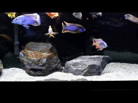 110 Gallon African Cichlid All Male Peacock and Hap Tank