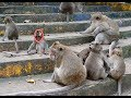 Big family of monkey in monastery , baby monkey love mother CHT# 8.