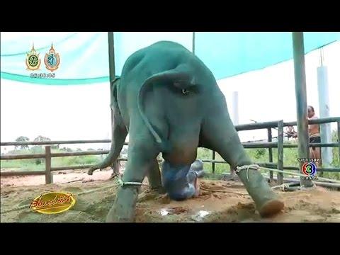 เรื่องเล่าเช้านี้ เปิดคลิปวินาที แม่ช้างสวนนงนุชให้กำเนิดลูกน้อย สุขภาพแข็งแรง