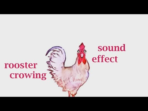 When A Rooster Crowing - Sound Effect - Animation