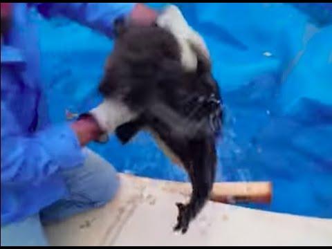 koala stuck in pool attacks its rescuers youtube