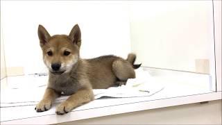 人好きで愛らしい柴犬です☆ 日本犬の代表格で秋田犬と並んで海外でも大...