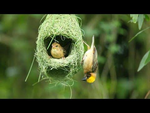 Menakjubkan!!! Beginilah Burung Manyar/Tempua Membuat Sarang Indahnya - Hanya Dalam Waktu 1 Hari