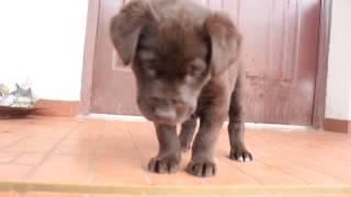 Щенок -  Шоколадный Лабрадор