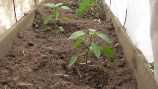 Перец из семян покупного перца
