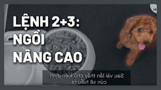 Dạy cún Ngồi nâng cąo | Kết hợp lệnh số 2 & 3 | Huấn luyện chó cơ bản | BossDog