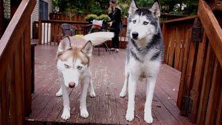 "Mishka Says ""i Love The Fall"" - Husky Dog Talking"
