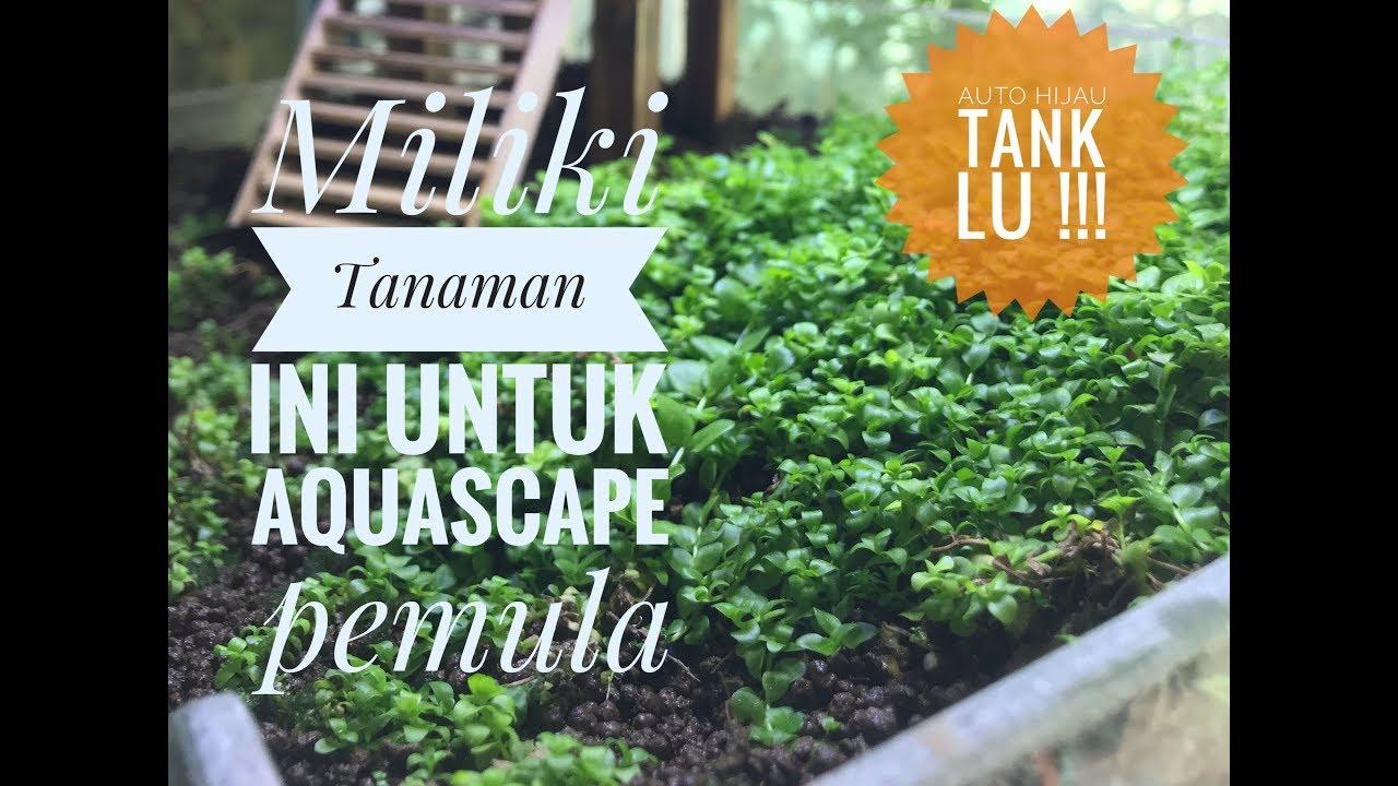 Tanaman Aquascape Pemula | Tanaman aquascape low CO2 ...