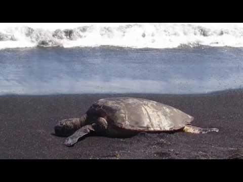 Green Sea Turtles at Punalu
