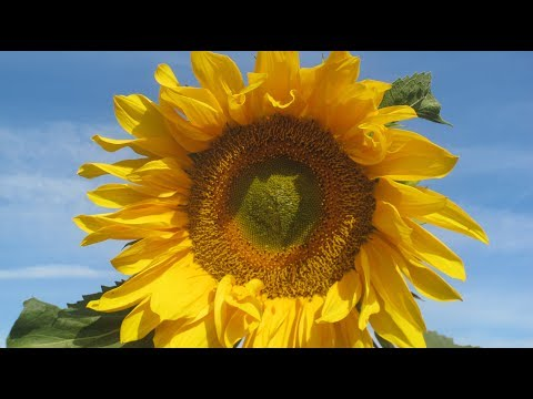 SunFlower / #подсолнухи  HD [Music: Liz Dicker ]