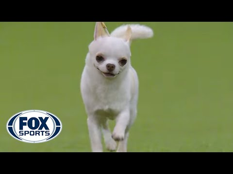 2,800 dogs, 202, breeds, one Best in Show | WESTMINSTER DOG SHOW (2018) | FOX SPORTS