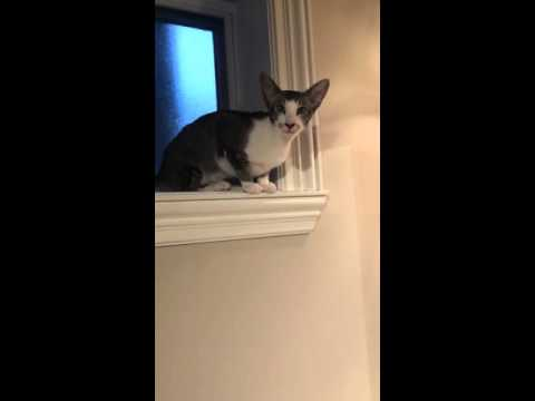 Crazy talking Oriental shorthair cat