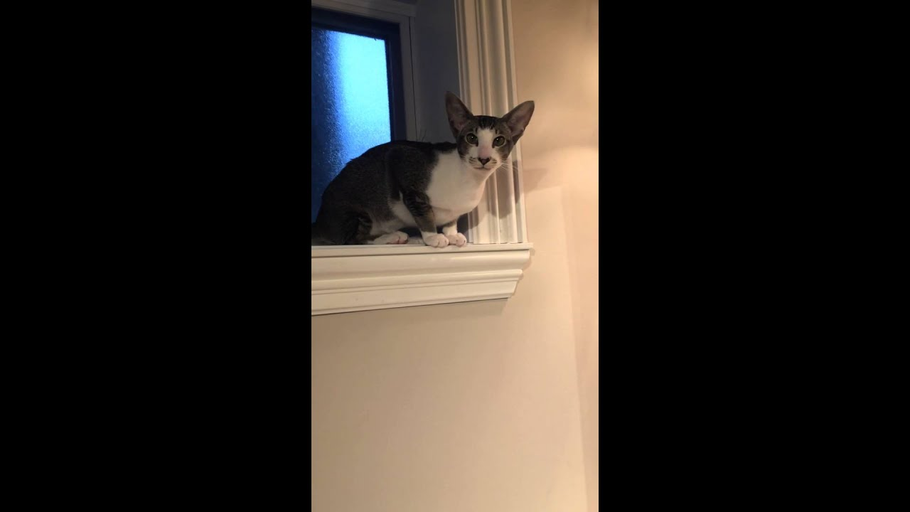 Crazy Talking Oriental Shorthair Cat