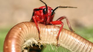 Искусный охотник и непревзойденный мастер маскировки мира насекомых! КЛОП ХИЩНЕЦ В ДЕЛЕ! смотреть онлайн в хорошем качестве - VIDEOOO