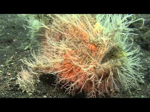 Indonesia/ North Sulawesi - Lembeh Resort & Lembeh Strait UW Video (2010)