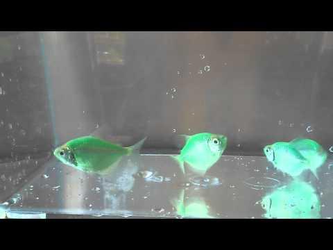Criadero abelbetta tetras glofish verde tr bol youtube for Criadero de peces ornamentales