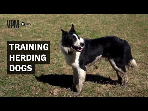 Herding Dogs Are an Invaluable Addition to Farms and Ranches