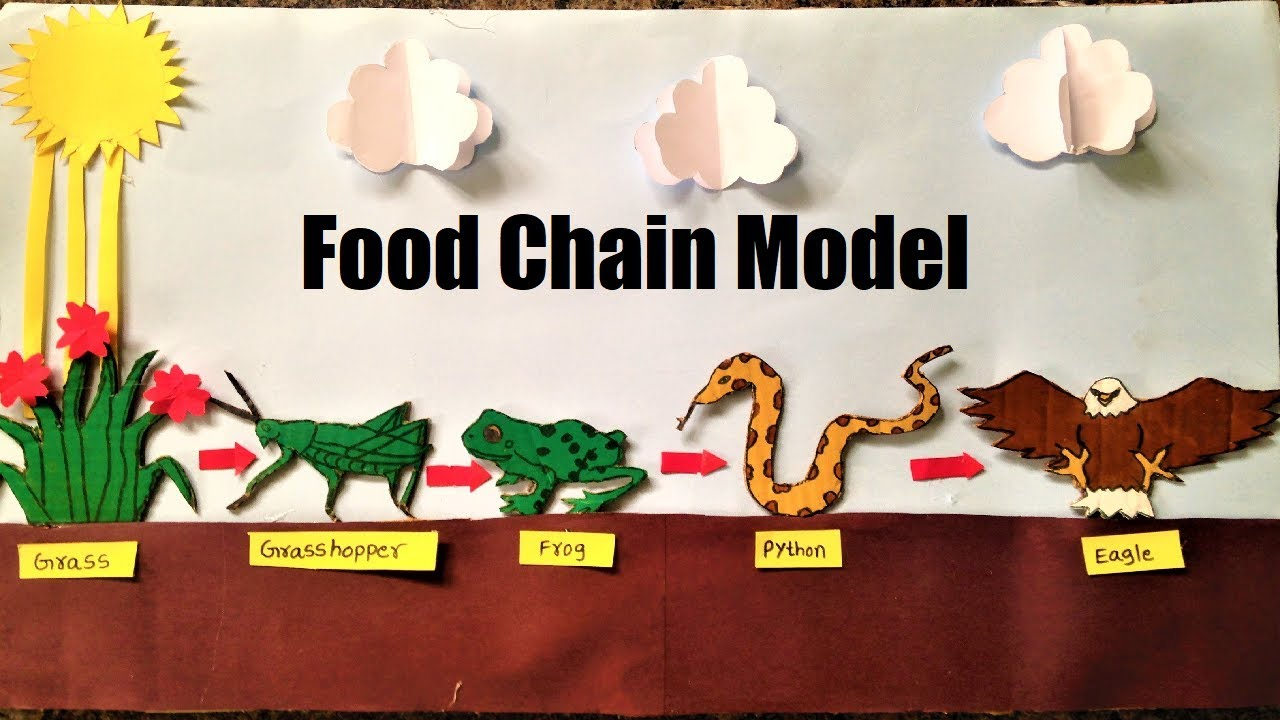 Food Chain Model Project For School Students Science Exhibition Youtube Food Chain Worksheet Food Chain Food Webs Projects [ 720 x 1280 Pixel ]